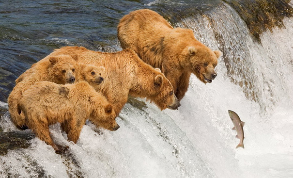 The Family Of Big Bears Seems Ready To Take The Plunge, Ready, Steady And Go.