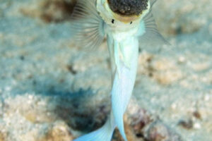 Aquatic Animals -Yellowhead Jawfish